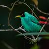 NAb4689 Green Honeycreeper (Chlorophanes spiza), Fortuna, Costa Rica