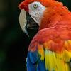 NAb234 Scarlet Macaw (Ara macao), Selva Verde, Costa Rica