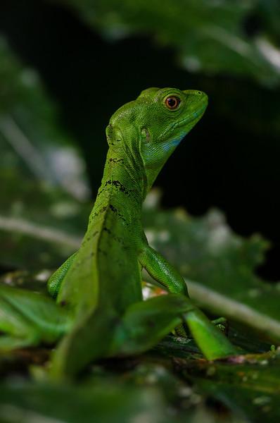 NAc211 Green Iguana (Iguana iguana), Selva Verde, Costa Rica