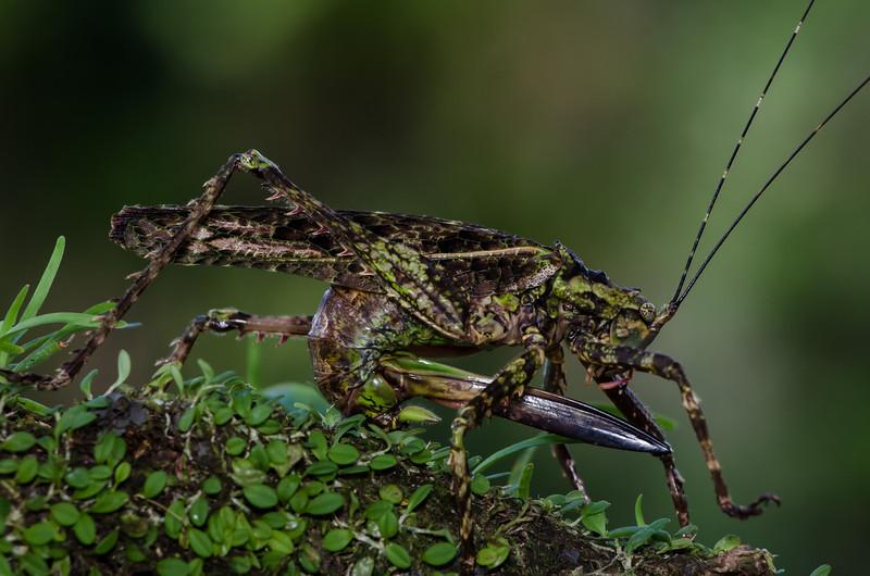NAd107 Moss-mimic Katydid (Haemodiasma tessellata), Fortuna, Costa Rica