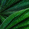 NBb86 Palm Frond Detail, Selva Verde, Costa Rica