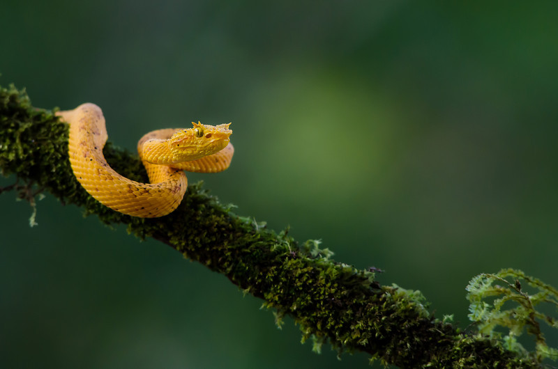 NAc404 Yellow Eyelash Viper (Bothriechis schlegelii), Fortuna, Costa Rica
