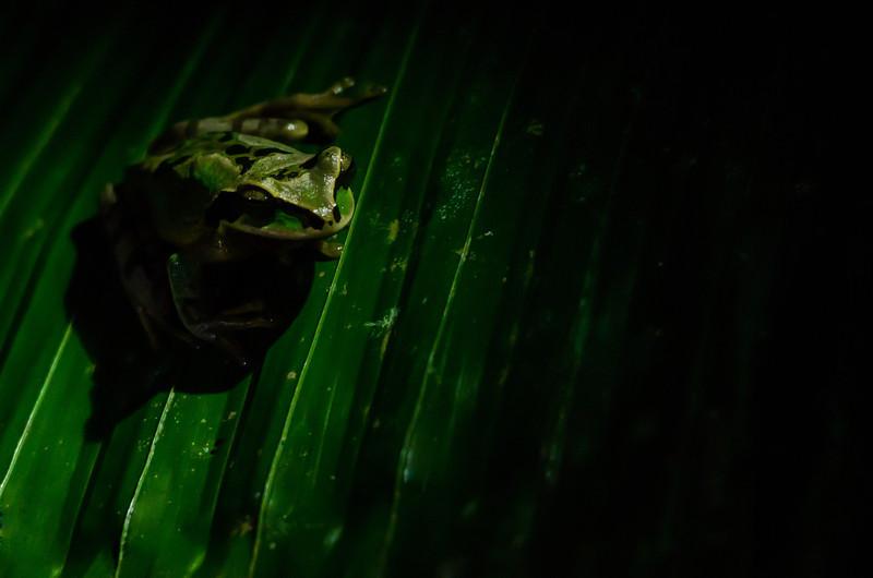 NAc359 Masked Treefrog (Smilisca phaeota), Selva Verde, Costa Rica