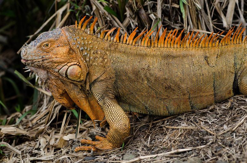 NAc821 Green Iguana (Iguana iguana), Muelle S. Carlos, Costa Rica