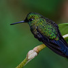 NAb3861 Green-crowned Brilliant (Heliodoxa jacula), female, Bosque de Paz, Costa Rica