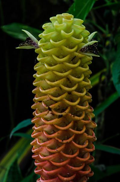 NBa1107 Beehive Ginger (Zingiber spectabile), Selva Verde, Costa Rica