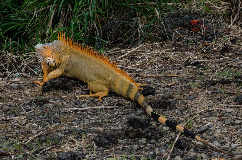 NAc869 Green Iguana (Iguana iguana), Muelle S. Carlos, Costa Rica