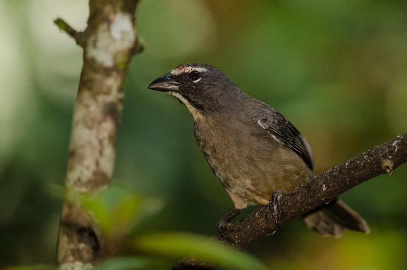 NAb4599 Buff-throated Saltator (Saltator maximus), Fortuna, Costa Rica