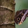 NAd41 Owl Butterfly (Caligo atreus), Selva Verde, Costa Rica