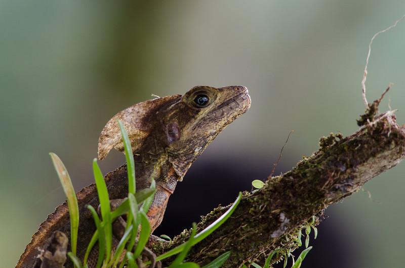 NAc523 Common Basilisk (Basiliscus basiliscus), Fortuna, Costa Rica