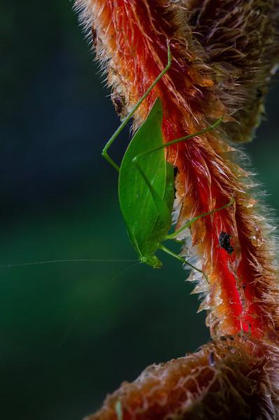 NAd56 Neotropical Bush Katydid (Microcentrum sp.), male, Selva Verde, Costa Rica