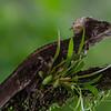 NAc516 Common Basilisk (Basiliscus basiliscus), Fortuna, Costa Rica