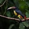 NAb3148 Collared Aracari (Pteroglossus torquatus), Selva Verde, Costa Rica