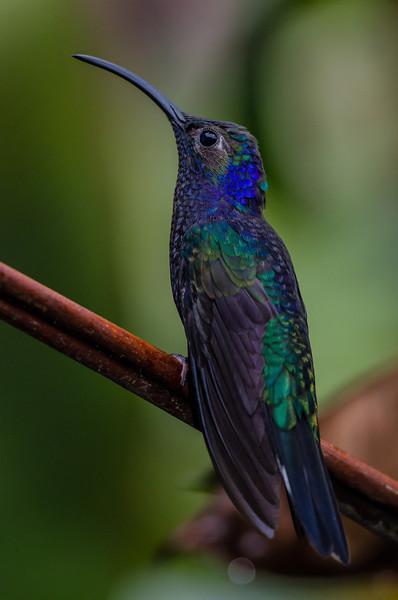 NAb4153 Violet Sabrewing Hummingbird(Campylopterus hemileucurus), Fortuna, Costa Rica