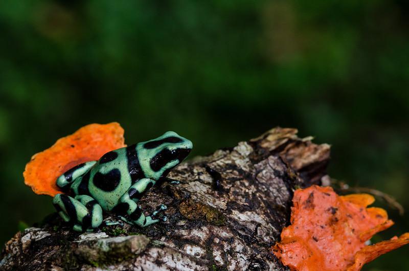 NAc320 Black and Green Poison-dart Frog (Dendrobates auratus), Selva Verde, Costa Rica