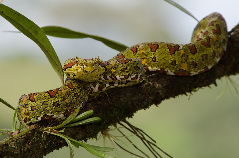 NAc442 Eyelash Viper (Bothriechis schlegelii), Fortuna, Costa Rica