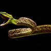Short-nosed Vine Snake