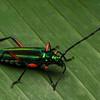 Long Hornnd Beetle