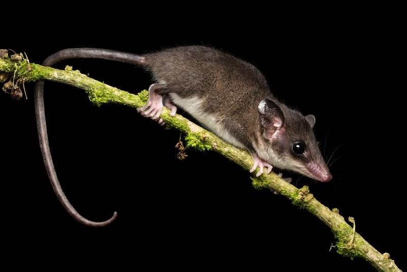 Robinson's Mouse Opossum (Marmosa robinsoni)