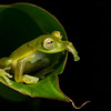 Red-spotted Glass Frog (2)