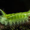 Stinging Nettle Slug Caterpillar, Limacodidae