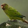El Oro Parakeet, (Pyrrhura orcesi)