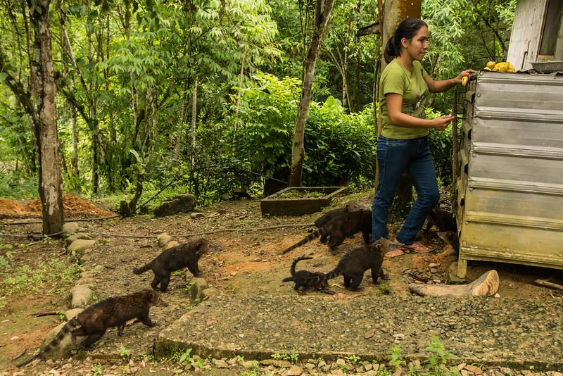 Ring-tailed Coati (Nasua nasua) (2)