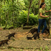 Ring-tailed Coati (Nasua nasua) (2)