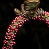 Rusty Tree Frog (Hypsiboas boans)