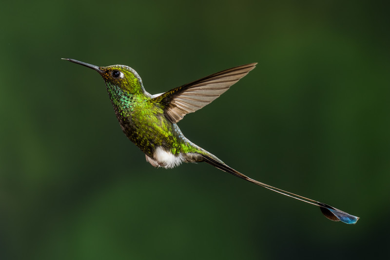 Booted Racket-tail (3)