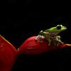 Spirelli's Flying Frog