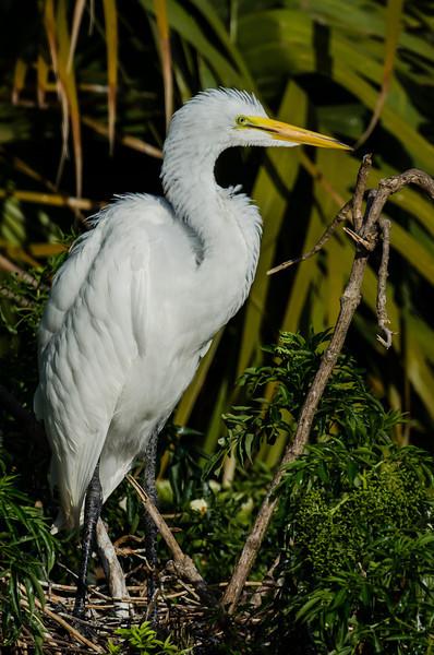 NAb5948 Great Egret (Ardea alba) Chick, Gatorland, FL