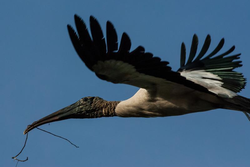 NAb6360 Wood Stork (Mycteria americana), Gatorland, FL