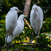NAb6322 Great Egret (Ardea alba) Chicks, Gatorland, FL