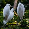 NAb6322 Great Egret (Ardea alba) Chicks, Gatorland, FL