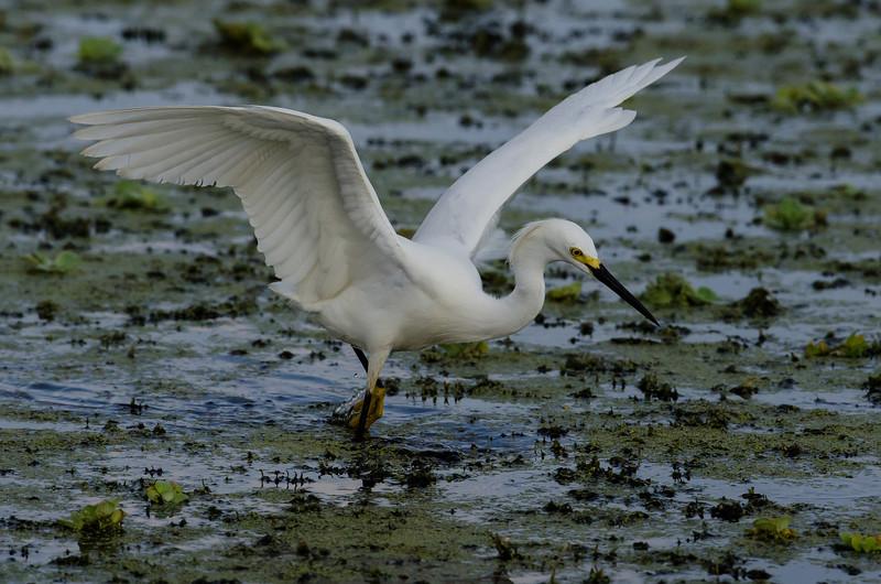 NAb6190 Snowy Egret (Egretta thula) Fishing, Circle B Bar Reserve, FL