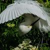 NAb6017 Snowy Egret (Egretta thula) Preening Breeding Plumage, Gatorland, FL
