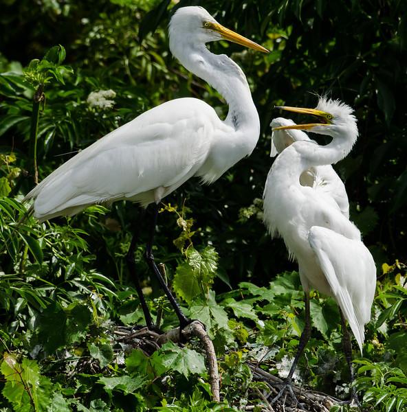 NAb6578 Great Egret (Ardea alba) Feeding Chick, Gatorland, FL