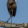 NAb4956 Limpkin (Aramus guarauna), Circle B Bar Reserve, FL