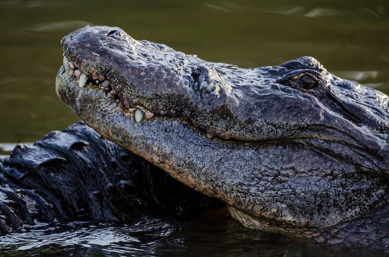 NAc910 American Alligator (Alligator mississippiensis),  Gatorland, FL