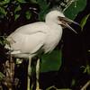 NAb5966  Snowy Egret (Egretta thula) Chick, Gatorland, FL