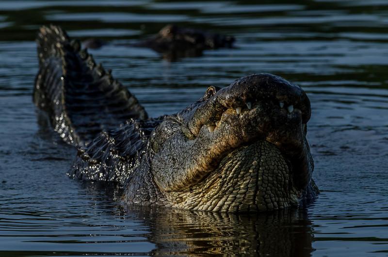 NAc943 American alligator (Alligator mississippiensis) Displaying, Gatorland, FL