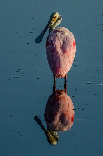 NAb5031 Roseate Spoonbill (Platalea ajaja), Merritt Island NWR, FL