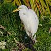 NAb5870 Great Egret (Ardea alba) on Nest, Gatorland, FL