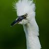 NAb6475 Snowy Egret (Egretta thula) Chick, Gatorland, FL