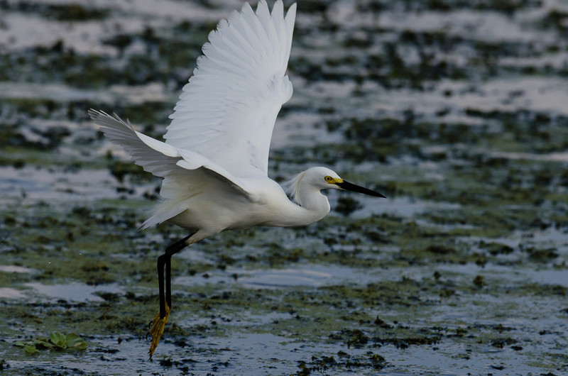NAb6194 Snowy Egret (Egretta thula), Circle B Bar Reserve, FL