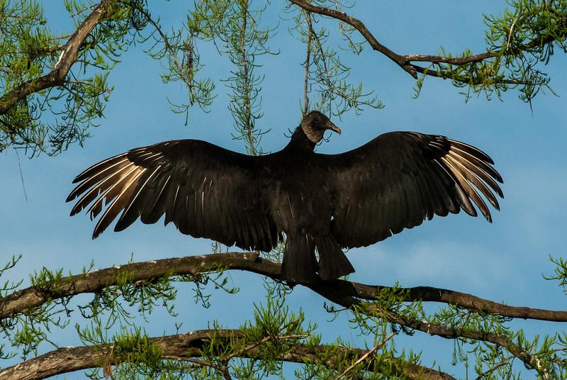 NAb5884 Black Vulture (Coragyps atratus) Warming in Morning Light, Gatorland, FL