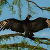 NAb5884 Black Vulture (Coragyps atratus) Warming in Morning Light, Gatorland, FL