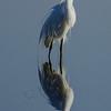 NAb5777 Great Egret (Ardea alba) Breeding Plumage, Merritt Island NR, FL