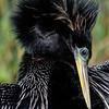 NAb5674 Anhinga (Anhinga anhinga) Drying Wings, Viera Wetlands, FL